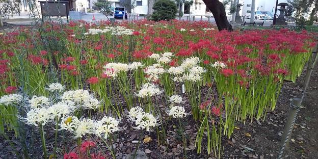 氷川神社の彼岸花 (11)