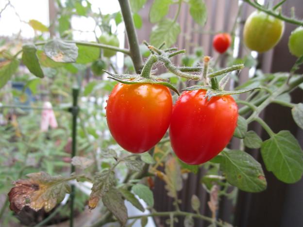 ミニトマトの変種