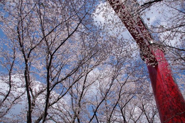 空と桜と赤鳥居