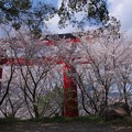 Photos: 桜と大鳥居