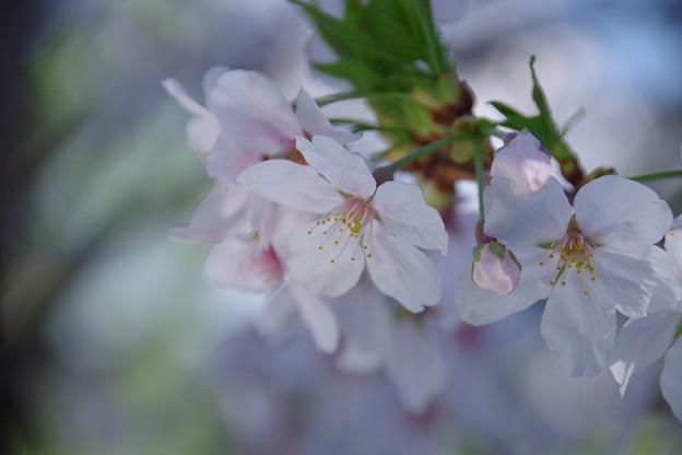 桜撮影にもレフ板