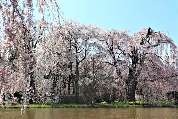 安養寺のしだれ桜(2)