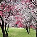 花桃並木通り