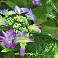 Photos: がくの大きい紫陽花