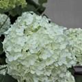 白色の紫陽花