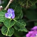 突然変異の紫陽花