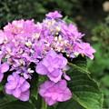 Photos: 遅咲きの紫陽花