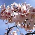 玉縄桜 #湘南 #鎌倉 #kamakura #花 #flower #日比谷花壇 #大船フラワーセンター #sakura #桜 #Cherryblossom