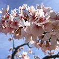 Photos: 玉縄桜 #湘南 #鎌倉 #kamakura #花 #flower #日比谷花壇 #大船フラワーセンター #sakura #桜 #Cherryblossom