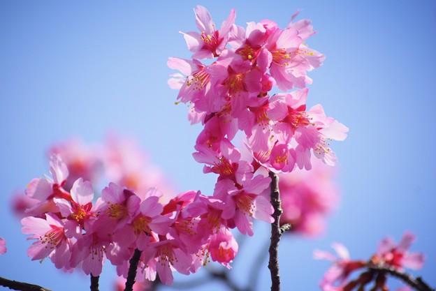 おかめ桜 #湘南 #鎌倉 #kamakura #花 #flower #日比谷花壇 #大船フラワーセンター #sakura #桜 #Cherryblossom
