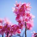 Photos: おかめ桜 #湘南 #鎌倉 #kamakura #花 #flower #日比谷花壇 #大船フラワーセンター #sakura #桜 #Cherryblossom