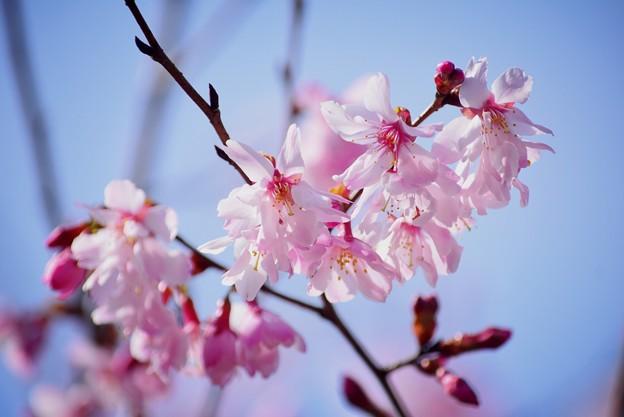 まめざくら #湘南 #鎌倉 #kamakura #花 #flower #日比谷花壇 #大船フラワーセンター #sakura #桜 #Cherryblossom