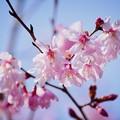 Photos: まめざくら #湘南 #鎌倉 #kamakura #花 #flower #日比谷花壇 #大船フラワーセンター #sakura #桜 #Cherryblossom
