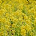 Photos: 満開の菜の花 #湘南 #鎌倉 #kamakura #花 #flower #日比谷花壇 #大船フラワーセンター