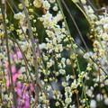 Photos: 枝垂梅 #湘南 #鎌倉 #kamakura #花 #flower #日比谷花壇 #梅 #plum