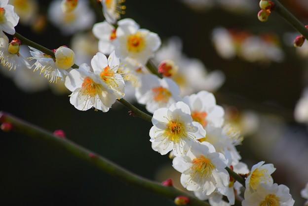 白梅 #湘南 #鎌倉 #kamakura #花 #flower #日比谷花壇 #梅 #plum