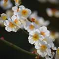 Photos: 白梅 #湘南 #鎌倉 #kamakura #花 #flower #日比谷花壇 #梅 #plum