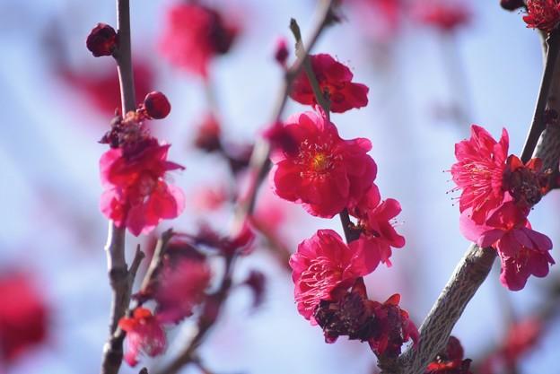 紅梅 #湘南 #鎌倉 #kamakura #花 #flower #日比谷花壇 #梅 #plum