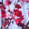 Photos: 紅梅 #湘南 #鎌倉 #kamakura #花 #flower #日比谷花壇 #梅 #plum