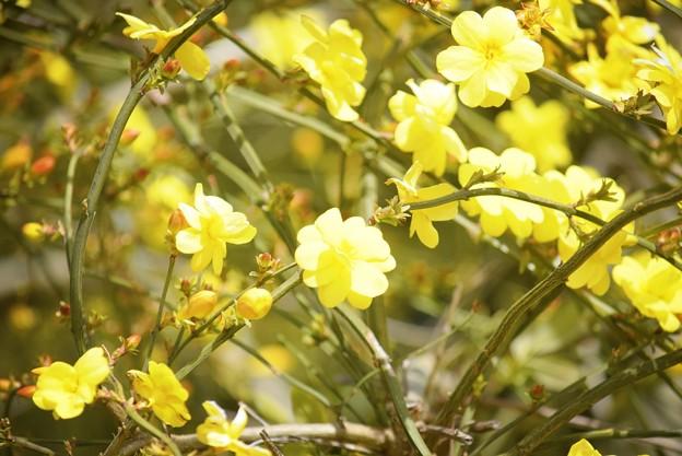 黄梅 #湘南 #鎌倉 #kamakura #花 #flower #日比谷花壇 #梅 #plum
