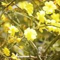 Photos: 黄梅 #湘南 #鎌倉 #kamakura #花 #flower #日比谷花壇 #梅 #plum
