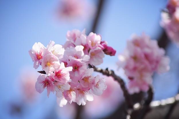 大寒桜 #湘南 #鎌倉 #kamakura #花 #flower #日比谷花壇 #大船フラワーセンター #sakura #桜 #Cherryblossom