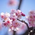 Photos: 大寒桜 #湘南 #鎌倉 #kamakura #花 #flower #日比谷花壇 #大船フラワーセンター #sakura #桜 #Cherryblossom