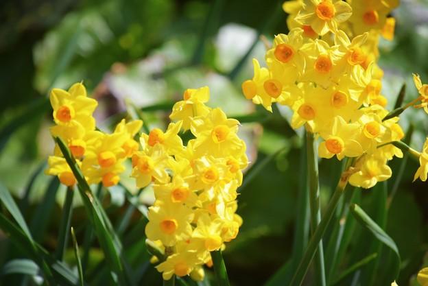 ジャーマンアイリス #湘南 #鎌倉 #kamakura #花 #flower #日比谷花壇 #大船フラワーセンター #水仙 #daffodil