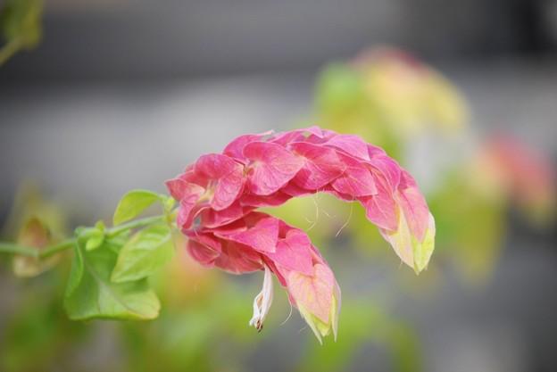 小海老草 #湘南 #鎌倉 #kamakura #花 #flower #日比谷花壇 #大船フラワーセンター