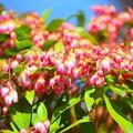 Photos: 馬酔木 #湘南 #鎌倉 #kamakura #花 #flower #日比谷花壇 #大船フラワーセンター