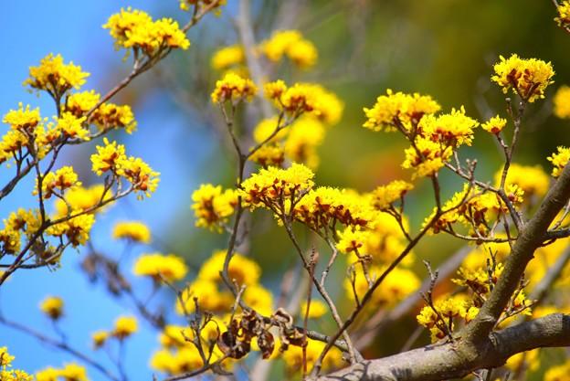 山茱萸 湘南 #鎌倉 #kamakura #花 #flower #日比谷花壇 #大船フラワーセンター