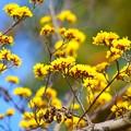 Photos: 山茱萸 湘南 #鎌倉 #kamakura #花 #flower #日比谷花壇 #大船フラワーセンター
