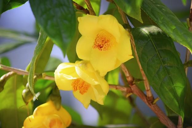 キンカチャ #湘南 #鎌倉 #kamakura #花 #flower #日比谷花壇 #大船フラワーセンター