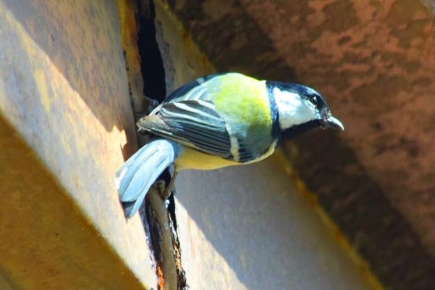 Photos: 四十雀 #湘南 #鎌倉 #kamakura #花 #flower #日比谷花壇 #大船フラワーセンター #鳥 #bird #animal