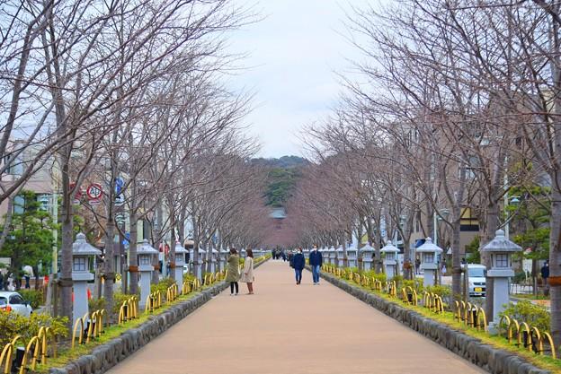 鶴岡八幡宮・段葛 #鎌倉 #湘南 #kamakura #神社 #shrine #鶴岡八幡宮 #花 #flower