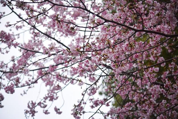 満開の大寒桜@鶴岡八幡宮 #鎌倉 #湘南 #kamakura #神社 #shrine #花 #flower #桜 #cherryblossom
