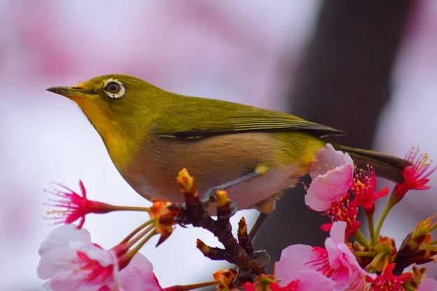 桜とメジロ #鎌倉 #鳥 #bird #animal #kamakura #神社 #shrine #花 #flower #桜 #cherryblossom