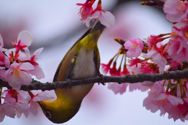 桜の蜜を吸うメジロ #鎌倉 #湘南 #kamakura #神社 #shrine #花 #flower #桜 #cherryblossom #鳥 #bird #animal