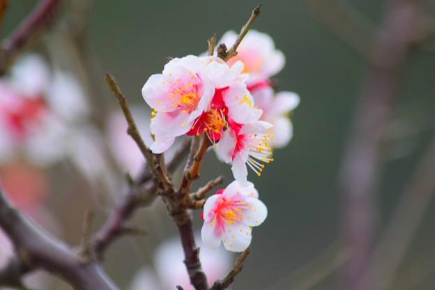 鶴岡八幡宮の梅 #鎌倉 #湘南 #kamakura #神社 #shrine #花 #flower #梅 #plum