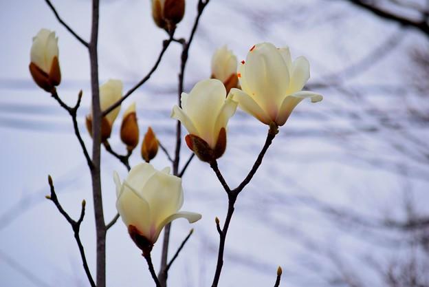 白木蓮@鶴岡八幡宮 #鎌倉 #湘南 #kamakura #神社 #shrine #花 #flower