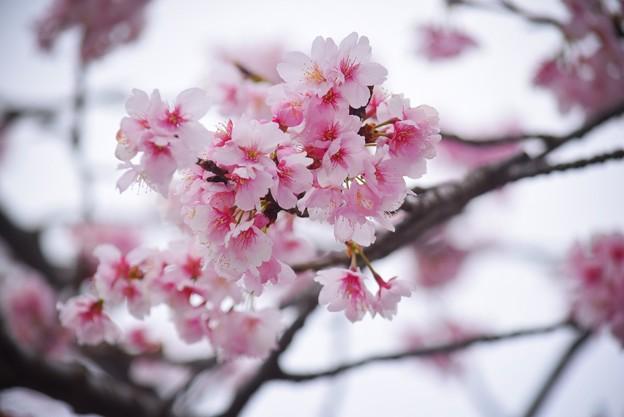 大寒桜@鶴岡八幡宮 #鎌倉 #湘南 #kamakura #神社 #shrine #花 #flower #桜 #cherryblossom