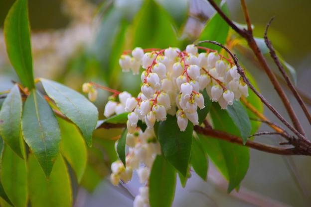 馬酔木 #鎌倉 #湘南 #kamakura #神社 #shrine #花 #flower