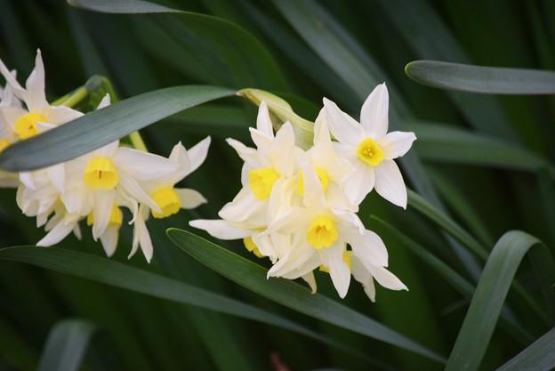 鶴岡八幡宮の水仙 #鎌倉 #湘南 #kamakura #神社 #shrine #花 #flower
