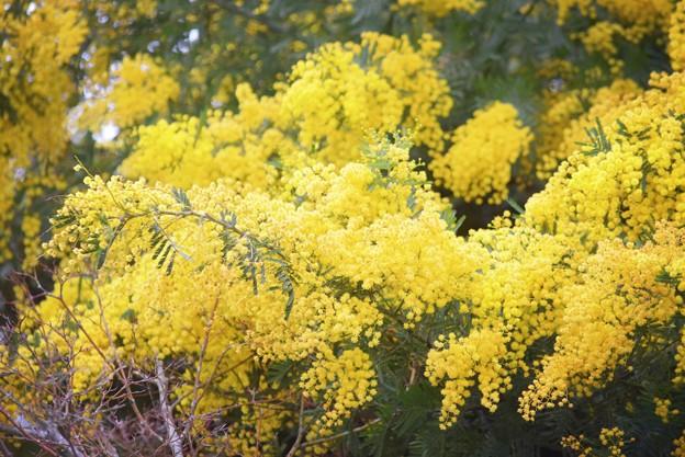 ミモザ #鎌倉 #湘南 #kamakura #神社 #shrine #花 #flower