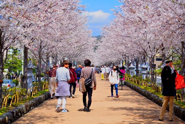 鶴岡八幡宮段葛の桜 #湘南 #鎌倉 #kamakura #shrine #flower #花 #桜 #cherryblossom