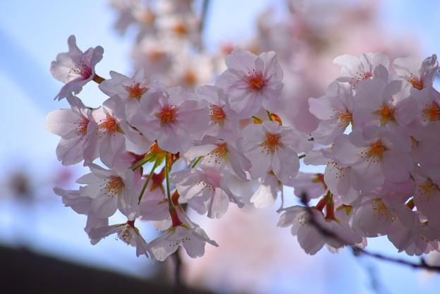 満開の桜@鶴岡八幡宮 #湘南 #鎌倉 #kamakura #shrine #flower #花 #桜#cherryblossom