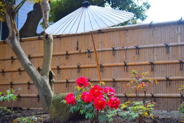 咲き始めの鶴岡八幡宮の牡丹 #湘南 #鎌倉 #kamakura #shrine #flower #花 #牡丹