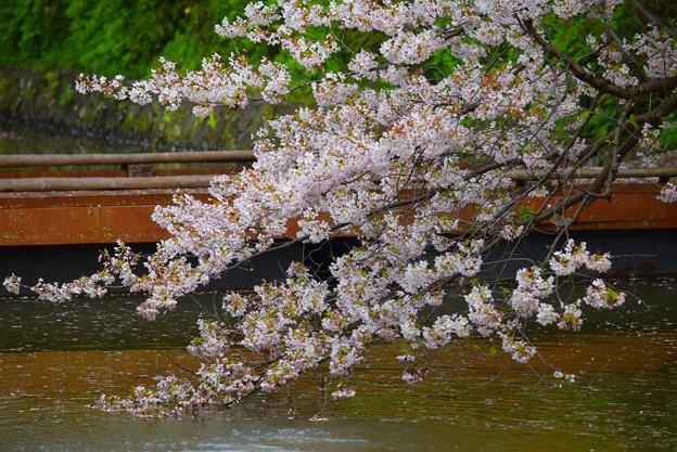 鶴岡八幡宮源平池の桜 #湘南 #鎌倉 #kamakura #shrine #flower #花 #桜 #cherryblossom