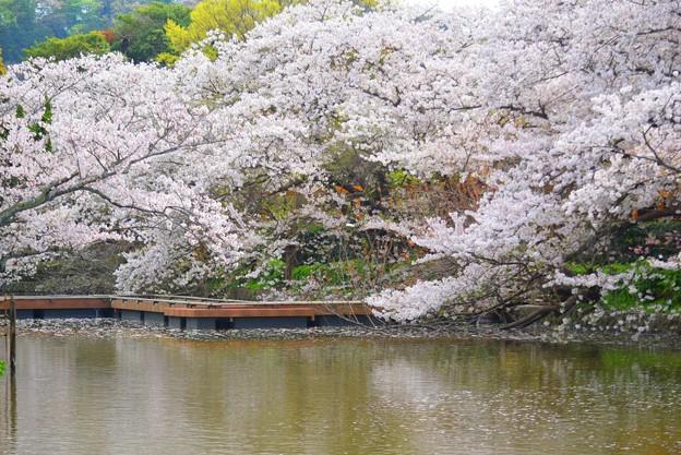 満開の源平池の桜 #湘南 #鎌倉 #kamakura #shrine #flower #花 #桜 #cherryblossom