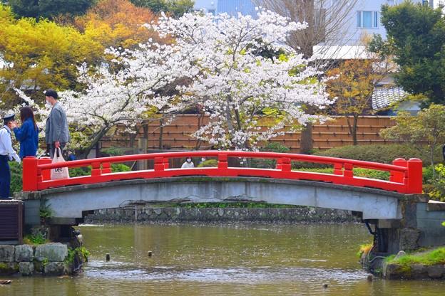 鶴岡八幡宮源平池 #湘南 #鎌倉 #kamakura #shrine #flower #花 #桜 #cherryblossom